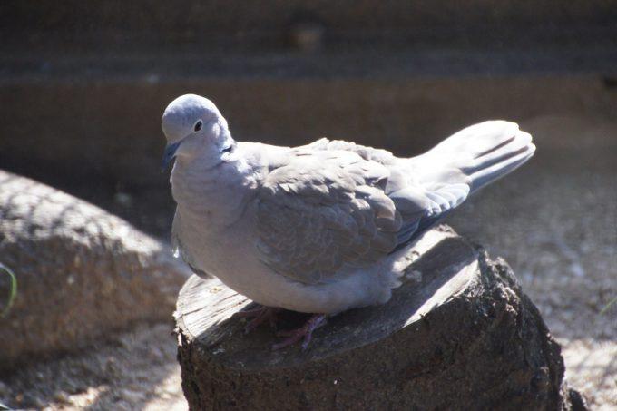 県のマスコットキャラクター「コバトン」のモデルにもなっている鳥なんだとか。