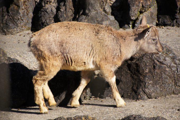 目の前にはトコトコと歩く超可愛い仔ヤギが!