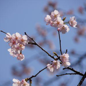 埼玉レポート「たまレポっ!」<br>第4回~桜の花を探して~