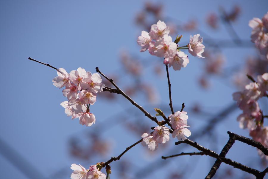 埼玉レポート「たまレポっ!」第4回 桜の花を探して